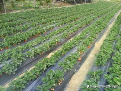 今天天气不错,逛逛草莓园,品品应季水果[ - 第1张  | 网络大咖