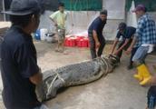 凶猛庞大的食人鳄吃人,被村民合力抓起来解剖取出受害者