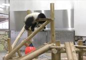 大熊猫结浜和父母分开居住,显得更调皮了,没人管的日子真舒服