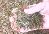 小河里长不大的小米虾 据说营养却不小