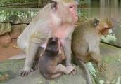 小猴子那么大还不肯停止断奶,猴妈妈无语了!