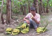 爱吃香蕉的你,看老师教你怎么吃?不注意就会吃到虫