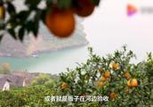 三峡移民26年,他们把悬崖峭壁变成一片橙林,收获财富