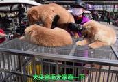 小伙逛中国四大狗市之一开封狗市,藏獒区里却没有藏獒是没落了吗