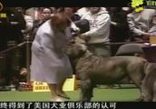 可卡贵宾犬始终得不到美国犬业俱乐部认可:这种狗除了贵,没特点