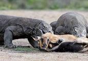 非洲羚羊眼睁睁的看着自己大腿被巨蜥活吃,羚羊极度可怜!