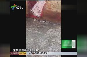堪称中国最毒的银环蛇出没,疑似近日大雨,把蛇窝淹没所致