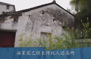 上海打工:在闹市区发现一处隐秘之地,年代久远,油菜花接近房顶