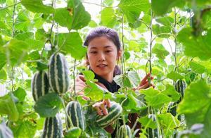 年产值达2.1亿元!曹妃甸特色种植被新华社关注报道
