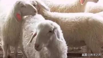 北京羊 北京适合养什么羊