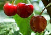 如何防治樱桃园果蝇的发生和对果实的侵害