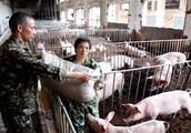 农村散养户翻身的机会来了,非洲猪瘟给规模化猪场带来的损失更大
