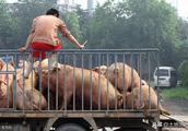 下月起,国家严查生猪运输,农村不能再随意拉猪了!