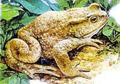常见动植物中毒的预防之蟾蜍中毒