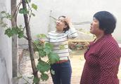 农村婆媳剪葡萄树,不长的枝子都剪掉,让它今年多长点