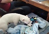懂事的狗狗给宝宝盖被子,把宝宝当成狗孩子了,太暖了!