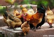 养鸡秘诀:老兽医留下的板蓝根四个经典套餐,养鸡人收藏一下吧!