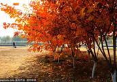 北京什么时间适合去看枫叶