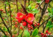 皱皮木瓜,花瓣鲜润丰腴,人见人爱