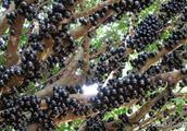 1斤葡萄赚100多,一年四季都结果!猜猜农民一年能挣多少钱?