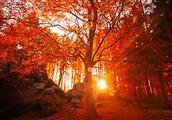 """从化石门公园红叶节开始,广州""""香山""""3000亩红叶""""红""""了!"""