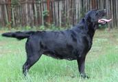如何挑一只真正纯种的拉布拉多犬?抓住这3点,准没错