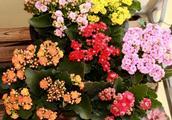 花市里的年宵花到了你家就萎蔫?养护三部曲做到位,花儿朵朵盛开