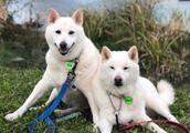 狗狗两兄弟长相太相似,主人傻傻分不清 路人戏称:宠物连连看?