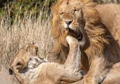 """肯尼亚狮妈护崽被迫与雄狮交配 使""""右勾拳""""暴打对方泄愤"""