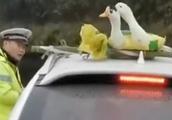冻到不行鸭!春节返程路上两只鸭被绑车顶,交警看不下去了