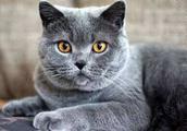 宁静安详的俄罗斯蓝猫