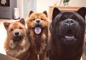 5大饲养禁忌:为了松狮犬健康,请花两分钟看完!