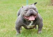 为什么美国恶霸犬在中国流行不起来?
