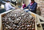 遵化板栗加工厂有效带动了农民增收