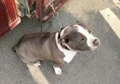狗市上拍到的美国恶霸犬,这种狗狗虽然挺壮实,但性格较温柔