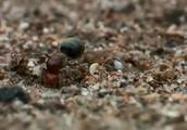 蚂蚁的力量有多大?他们是如何搬家的?镜头记录全过程