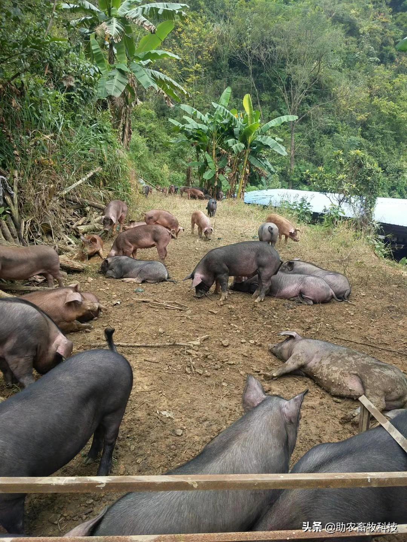 放养猪 农家饲料 生态养殖