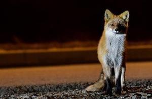 俄客机降落时跑道现熟睡野狐 紧急升空化险为夷